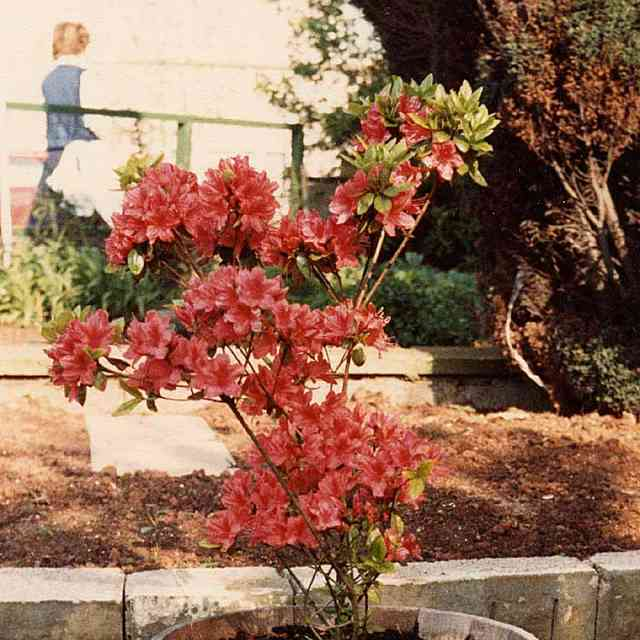 red Rhododendrons dangerous for cats