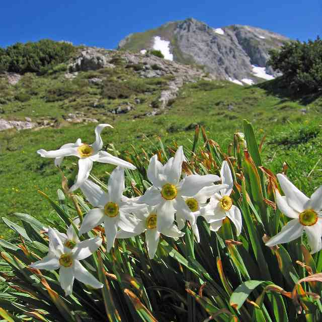white Daffodils in the mountains dangerous to cats