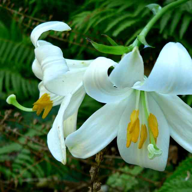 white Lilies which are dangerous to cats