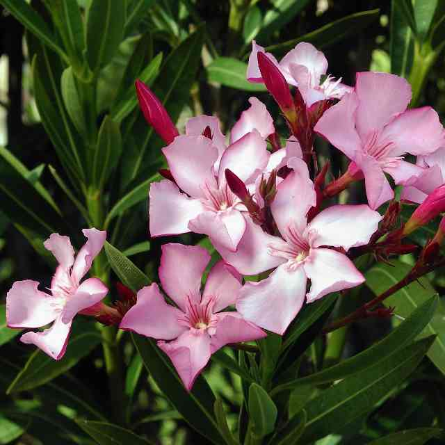 pink Oleander dangerous to cats