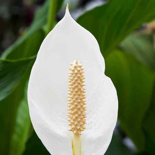 white Peace Lily dangerous to cats