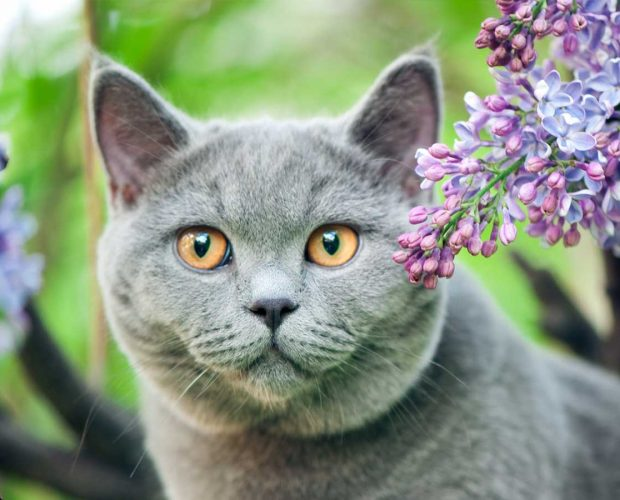 British shorthair cat surrounded by flowers