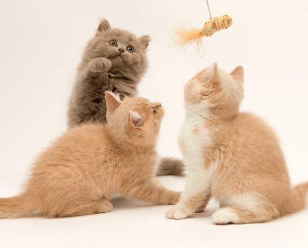 Un nuevo miembro felino de la familia: ¿qué esperar? - blog