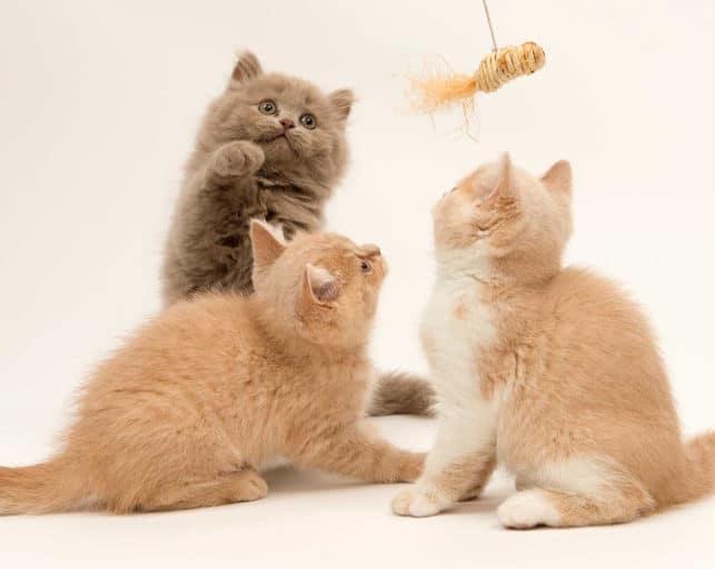 Con taurina, un nutriente esencial para que los gatos estén saludables